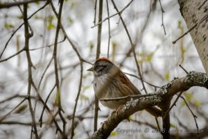 Swamp Sparrow, side view