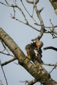 Flicker-Tail Coverts