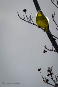 Brimstone Canary, Front