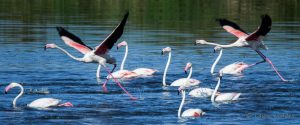 Greater Flamingo Duet