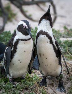 Penguins Renewing Pair Bond