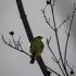 Brimstone Canary, Back