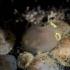 Ciona intestinalis (Sea squirt)