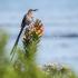 Cape Sugarbird Male Singing, #1