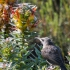 Cape Sugarbird Juvenile