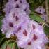 Purple Rhody