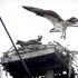 Osprey Approaches Nest