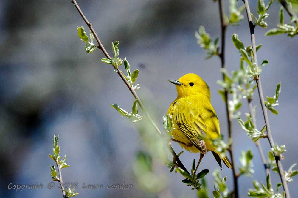 Yellow Warbler Show-off