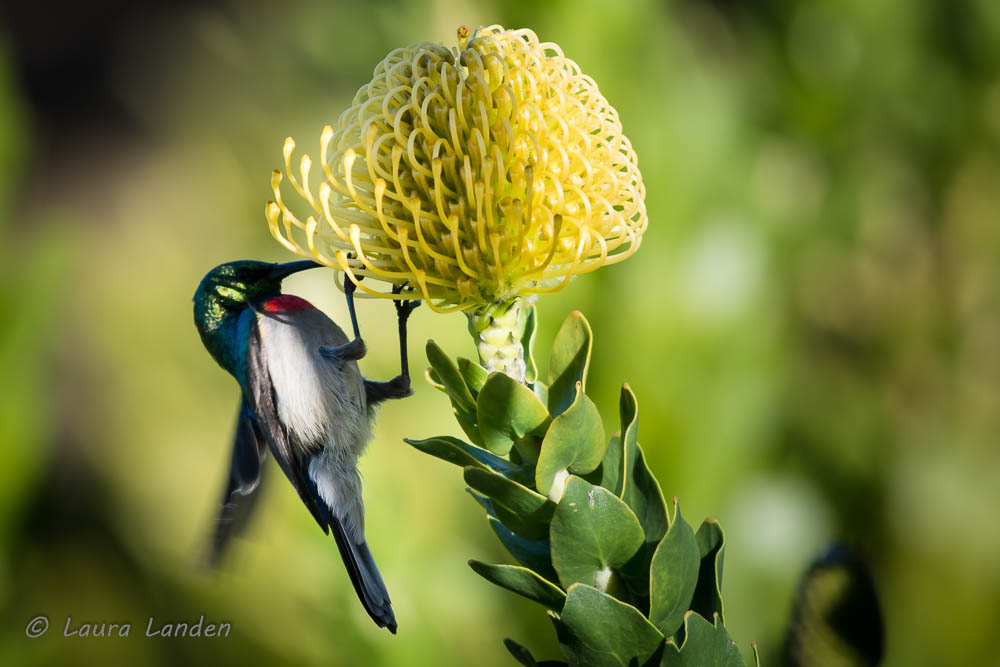 Southern Double-collared Sunbird Feeding